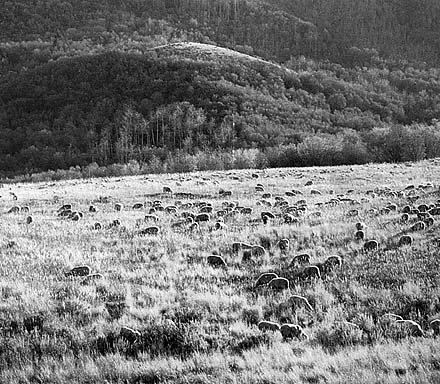 Grazing Sheep, Cache Valley