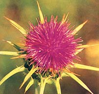 Showy head of the thistle
