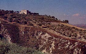Olive grove near Syrian Mediterranean coast