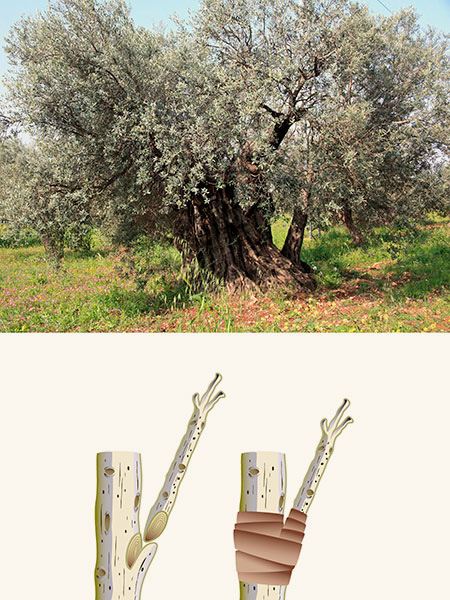 olive tree; grafted branch
