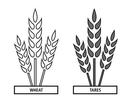 wheat, tares