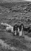 two men herding sheep