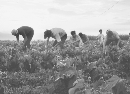 group of people harvesting crops