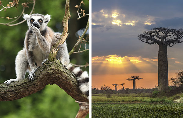 lemur and baobab tree